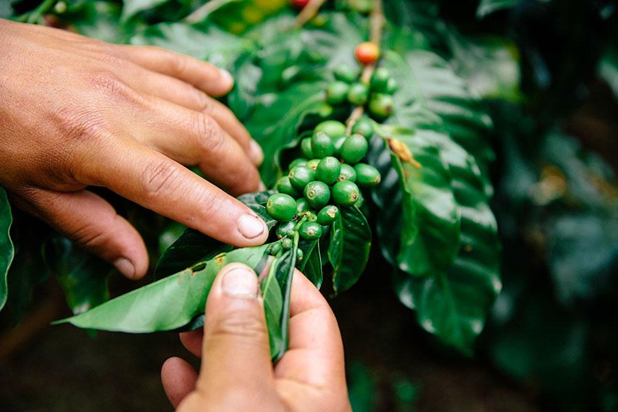 RG-Coffee-Berries-15