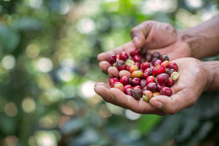 RG-Coffee-Berries-35